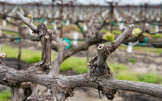 Spur pruned vine with bud