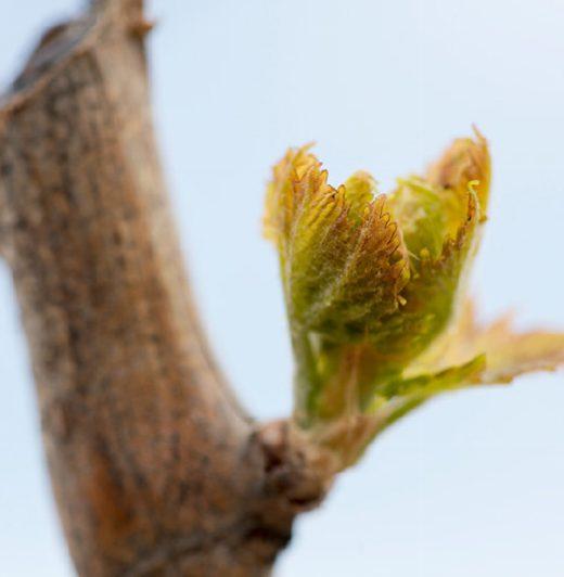 Close up bud break