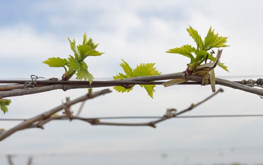 Green leaves on vine