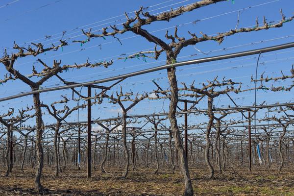 Pruned vineyard