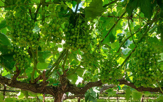Annual Grapevine Cycle | Grapes from California