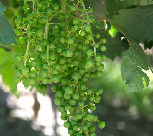Annual Grapevine Cycle Grapes From California