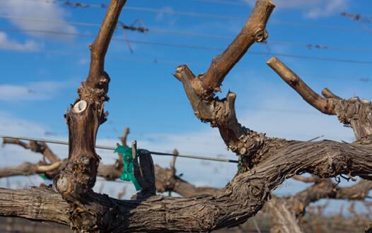 Spur Pruned Vine