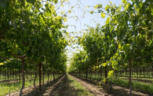 Vineyard appearance during flowering