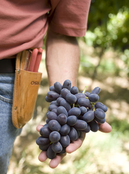Should you refrigerate grapes